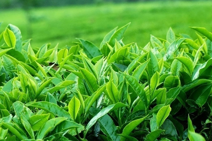 Đã có rất nhiều cuộc nghiên cứu cho thấy trà xanh rất có lợi cho sức khỏe