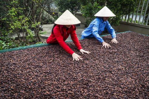 Thăm vườn cacao Miền Tây